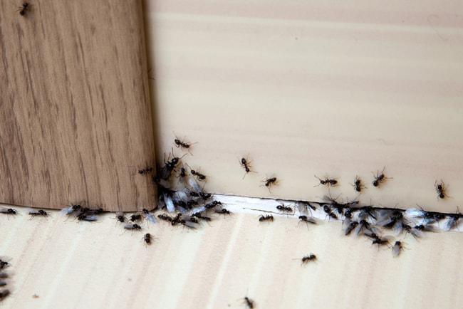 en svärm myror kryper längs med dörrkarm i lägenhet